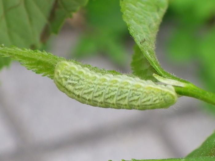 ミドリシジミの幼虫 5月6日_d0254540_09491777.jpg