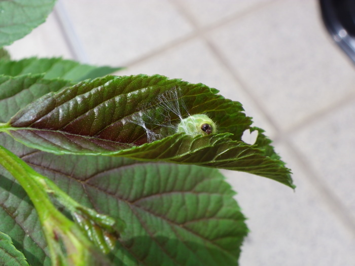 ミドリシジミの幼虫 5月6日_d0254540_11273294.jpg