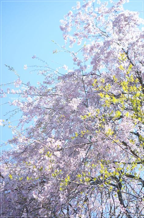 桜と風薫る京都*_f0151946_033828.jpg