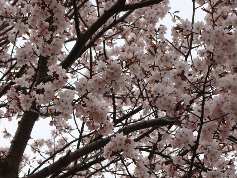 やっと、ホテルの前の桜が咲き始めました。_b0185375_19540981.jpg
