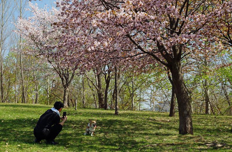 桜・4_d0162994_08061083.jpg