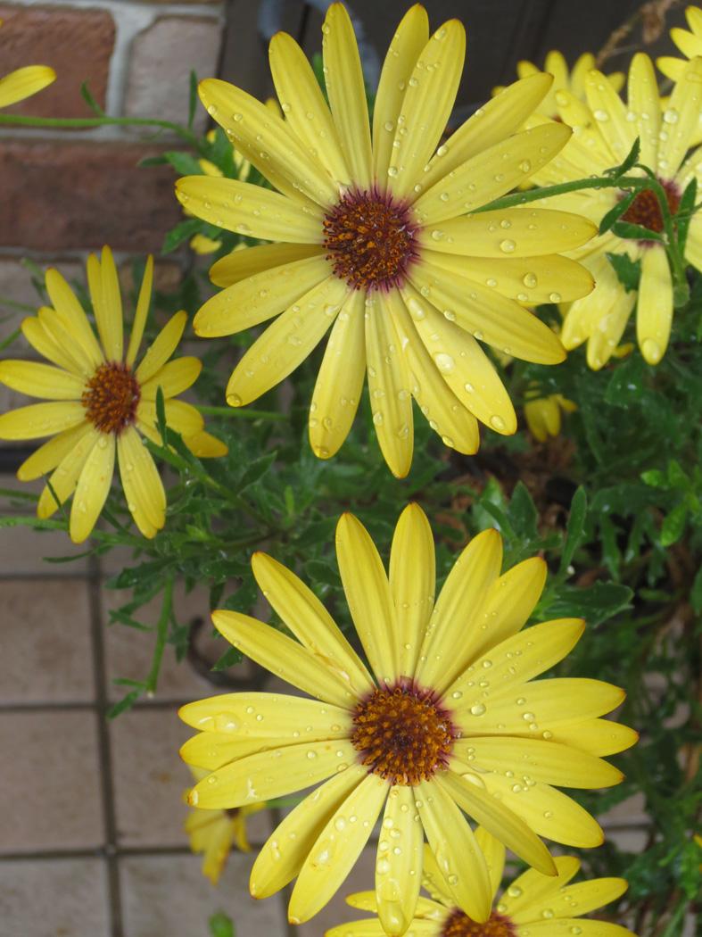 ■今日は黄色い花たち、それに週替わりの夕暮れ[5/7]_d0190217_21511664.jpg