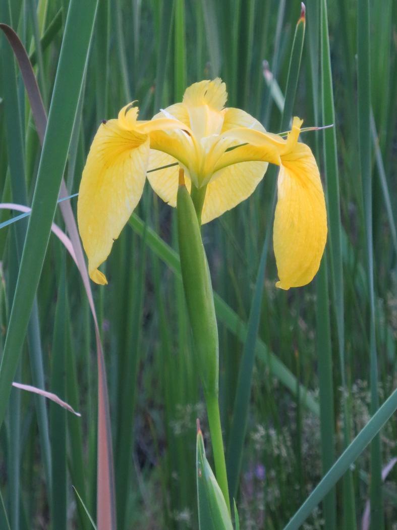 ■今日は黄色い花たち、それに週替わりの夕暮れ[5/7]_d0190217_21513354.jpg