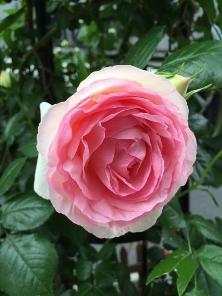 バラ色の日曜日_a0103940_17185273.jpg