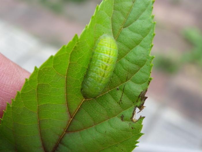 ミドリシジミの幼虫 5月6日_d0254540_16002405.jpg