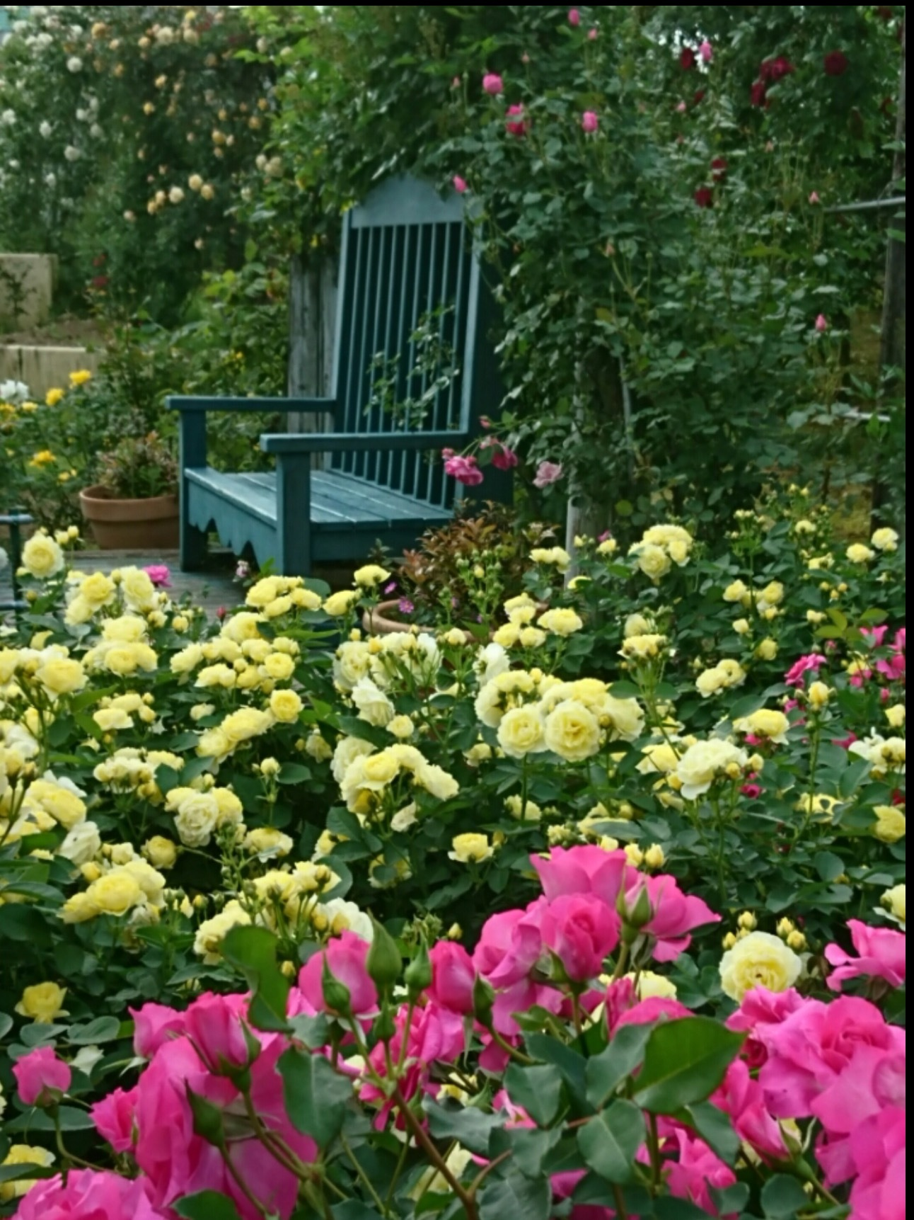 宮崎でこんな素敵な薔薇の花園があるんです・・・・それも今が絶好調🌹_b0137969_06454248.png