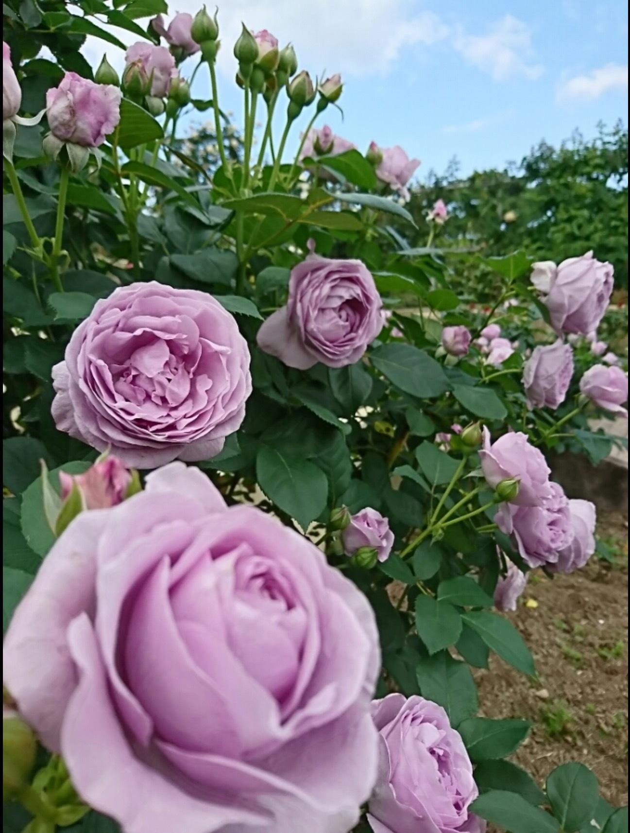 宮崎でこんな素敵な薔薇の花園があるんです・・・・それも今が絶好調🌹_b0137969_06455706.png