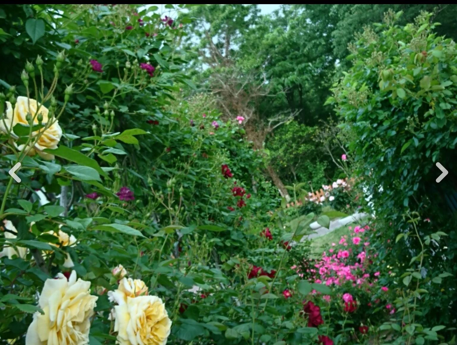 宮崎でこんな素敵な薔薇の花園があるんです・・・・それも今が絶好調🌹_b0137969_07271732.png