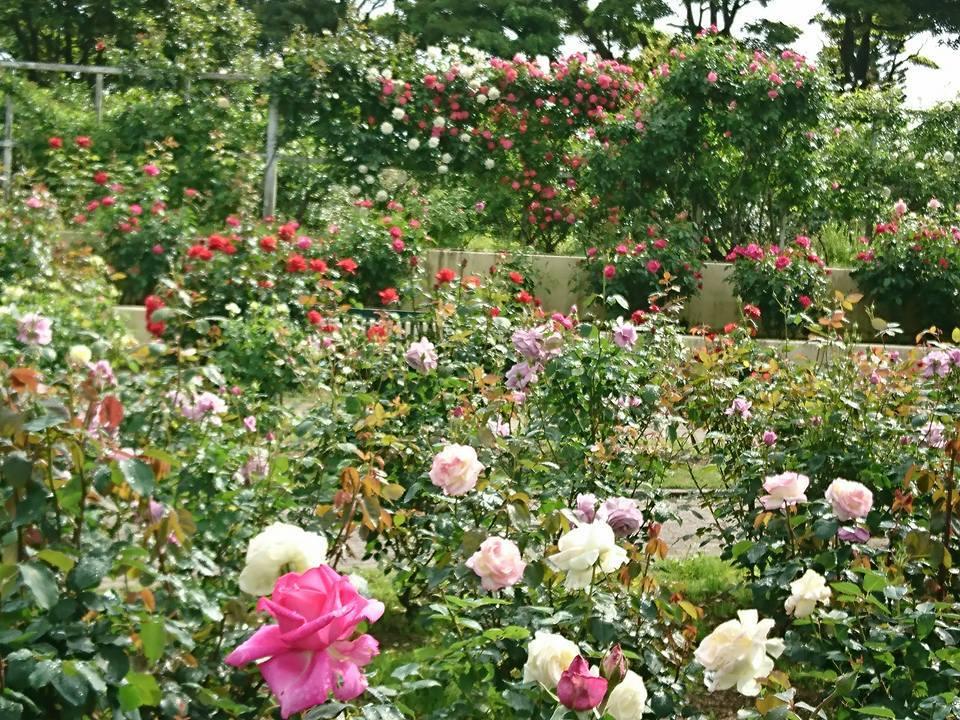 宮崎でこんな素敵な薔薇の花園があるんです・・・・それも今が絶好調🌹_b0137969_10361208.jpg