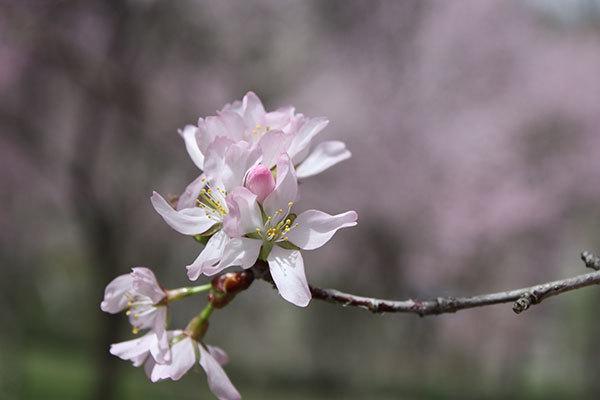 今年も置戸神社の桜_f0101174_14001924.jpg