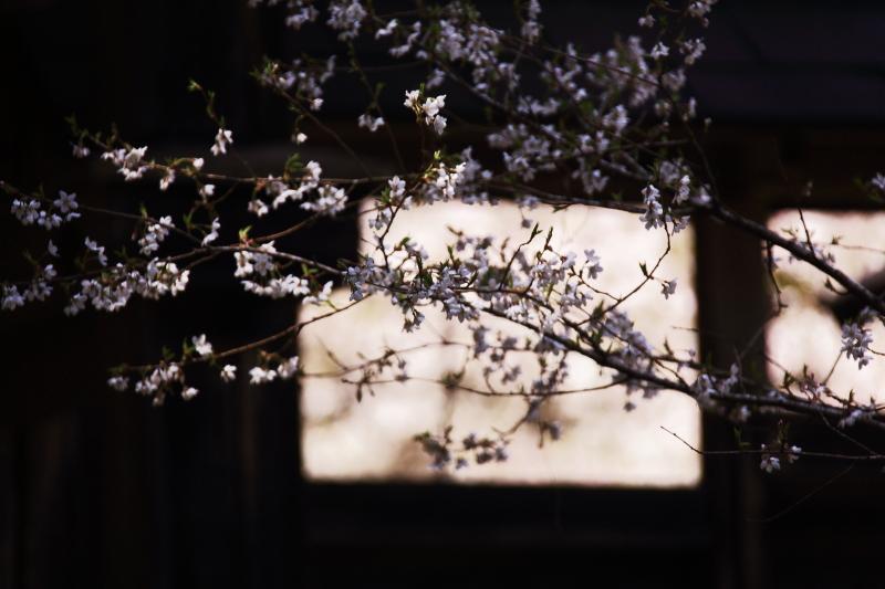 早池峯神社の桜_f0075075_1891814.jpg