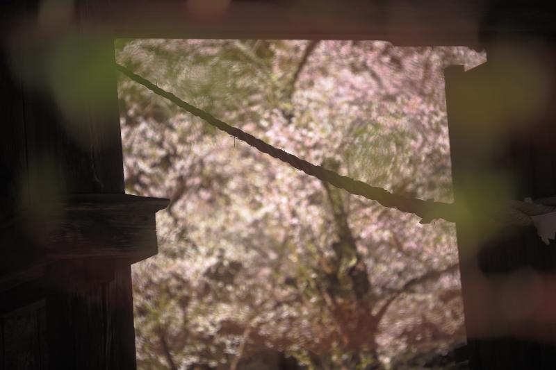 早池峯神社の桜_f0075075_1894683.jpg