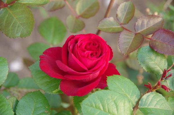 薔薇が咲き出した雨上がりのマイガーデン_b0356401_23063786.jpg