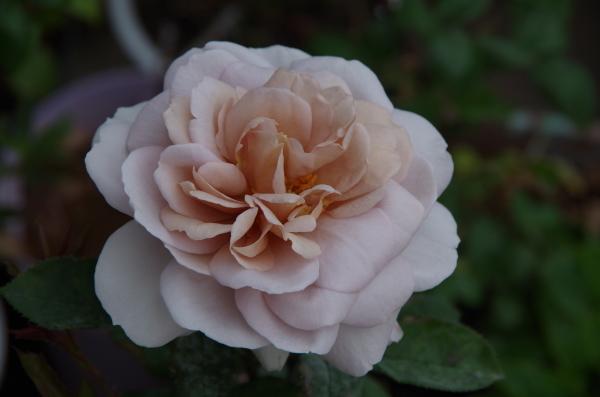 薔薇が咲き出した雨上がりのマイガーデン_b0356401_23073229.jpg
