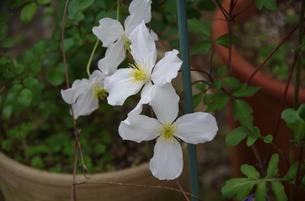 薔薇が咲き出した雨上がりのマイガーデン_b0356401_23102168.jpg