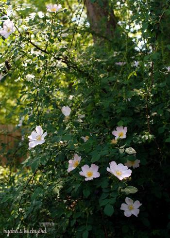 パティオに転がる猫。裏庭と前庭の様子(5月上旬)_b0253205_04583277.jpg