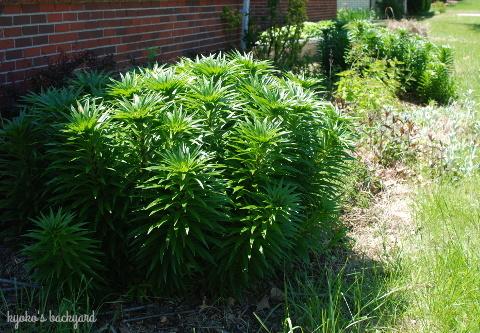 パティオに転がる猫。裏庭と前庭の様子(5月上旬)_b0253205_04594426.jpg