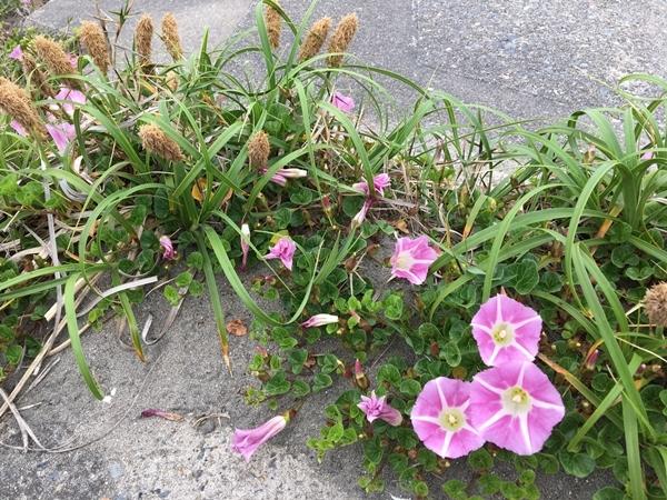 連休の海と浜辺の植物_c0019551_18182570.jpg