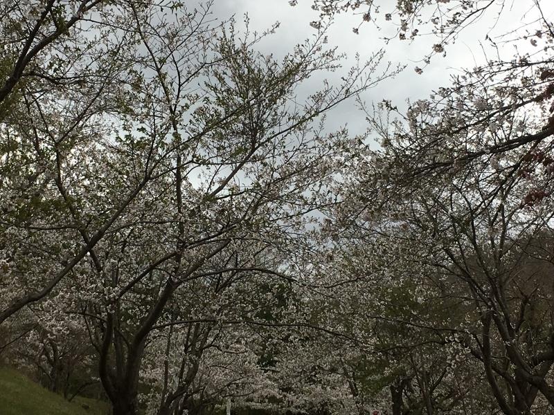 「アルテピアッツァ美唄」と桜_e0326953_16011497.jpg