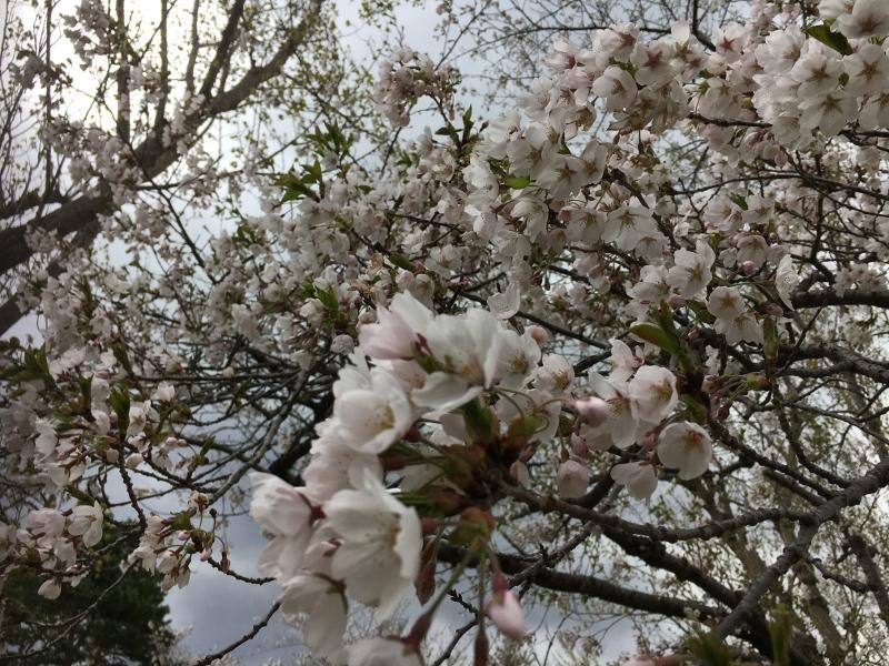 「アルテピアッツァ美唄」と桜_e0326953_16012682.jpg