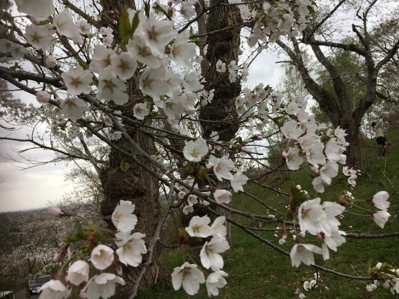 「アルテピアッツァ美唄」と桜_e0326953_16013535.jpg