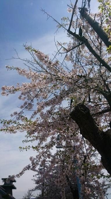 2017年5月8日(月)今朝の函館の天気と気温は。五稜郭公園内の箱館奉行所売店前の垂れ桜が美しい_b0106766_06543406.jpg