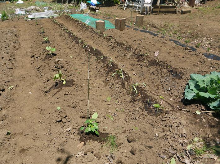 サツマイモの苗、竹棒使って斜め植え(5・3~4)_c0014967_06131037.jpg