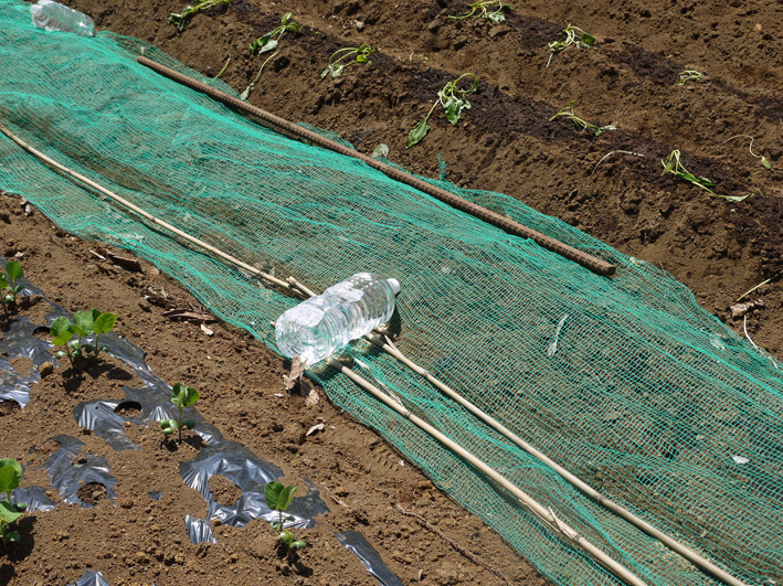 サツマイモの苗、竹棒使って斜め植え(5・3~4)_c0014967_06193392.jpg