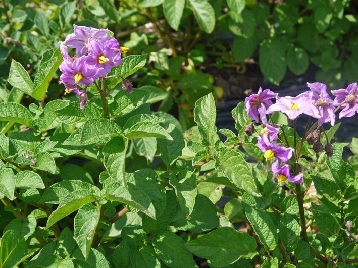 ソラマメ間もなく収穫、ジャガイモの花咲く(5・3、公田の畑)_c0014967_6312186.jpg