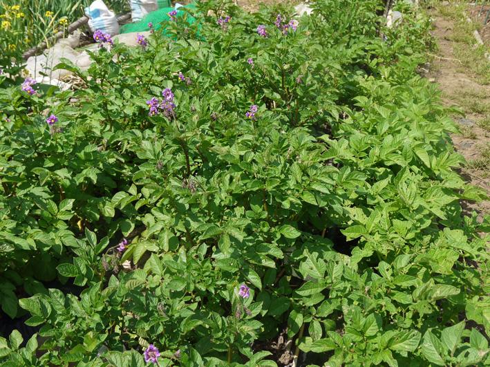 ソラマメ間もなく収穫、ジャガイモの花咲く(5・3、公田の畑)_c0014967_6313527.jpg