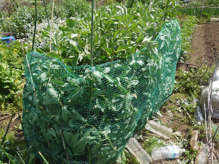 ソラマメ間もなく収穫、ジャガイモの花咲く(5・3、公田の畑)_c0014967_631715.jpg