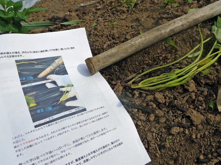 サツマイモの苗、竹棒使って斜め植え(5・3~4)_c0014967_632089.jpg