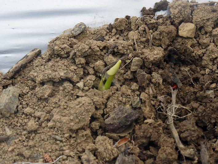 サツマイモの苗、竹棒使って斜め植え(5・3~4)_c0014967_64254.jpg