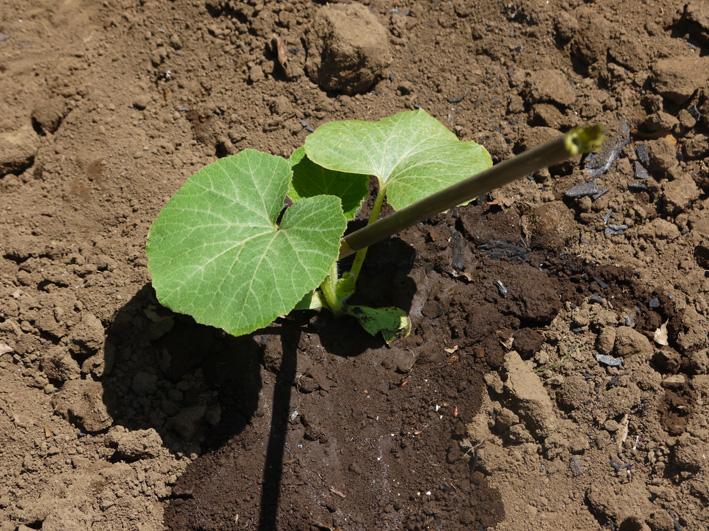 サツマイモの苗、竹棒使って斜め植え(5・3~4)_c0014967_661866.jpg