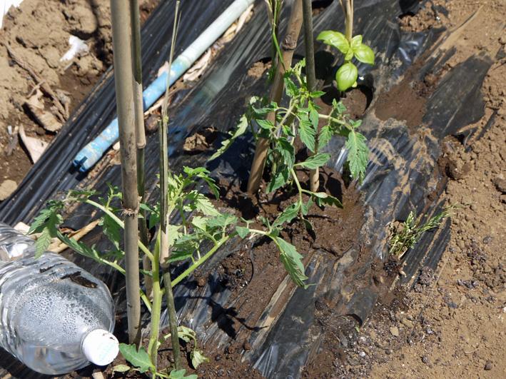 サツマイモの苗、竹棒使って斜め植え(5・3~4)_c0014967_663440.jpg