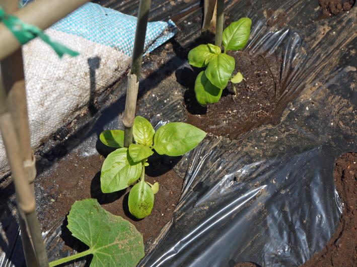 サツマイモの苗、竹棒使って斜め植え(5・3~4)_c0014967_672041.jpg