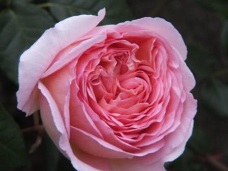 バラの季節_b0214473_13121780.jpg