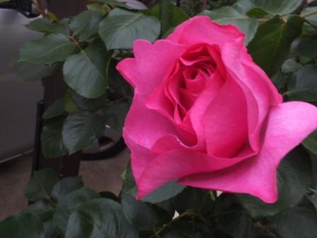 バラの季節_b0214473_13123216.jpg