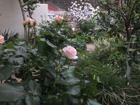 バラの季節_b0214473_13134535.jpg