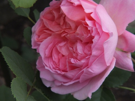 バラの季節_b0214473_1313943.jpg