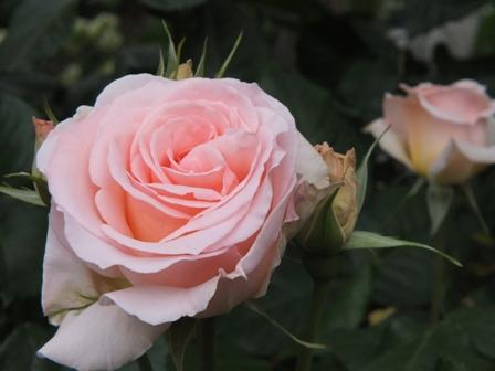 バラの季節_b0214473_19403376.jpg
