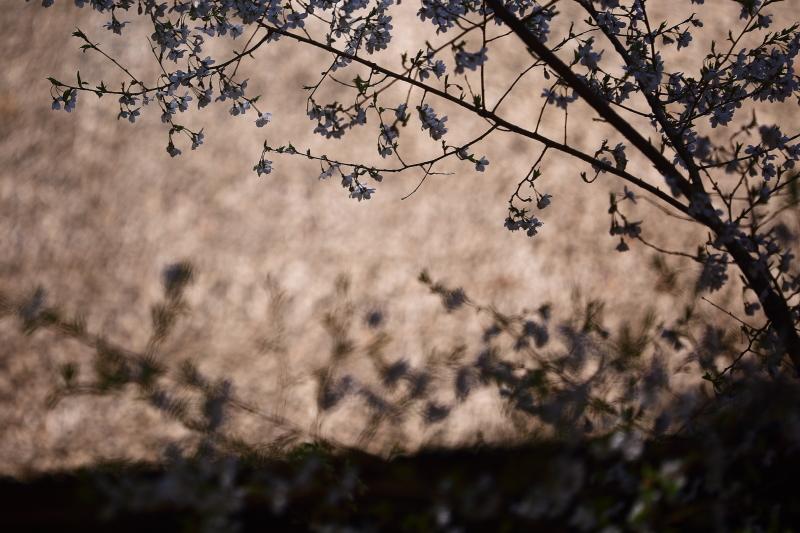 早池峯神社の桜_f0075075_19255156.jpg