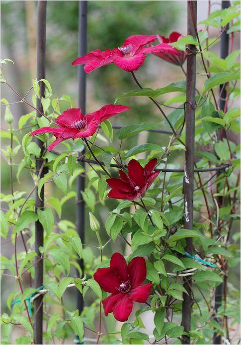 昨日の庭の花 ②_a0256349_1729416.jpg