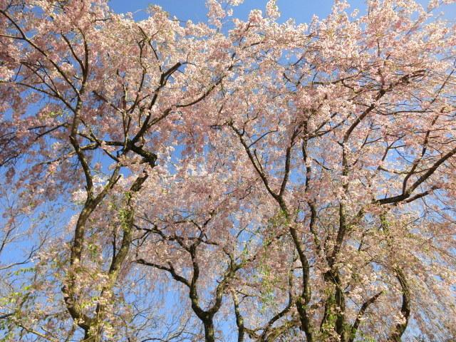 GW明けの軽井沢*桜と新緑の競演♡_f0236260_02454029.jpg