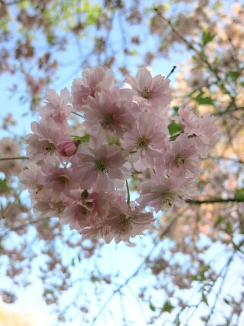 GW明けの軽井沢*桜と新緑の競演♡_f0236260_02543589.jpg