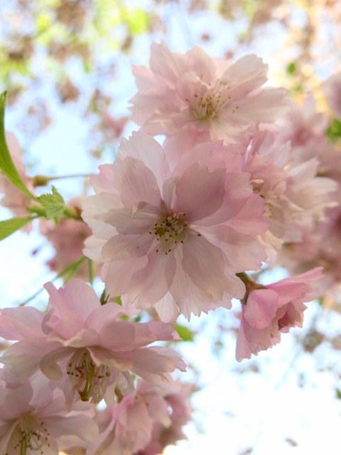 GW明けの軽井沢*桜と新緑の競演♡_f0236260_02550173.jpg