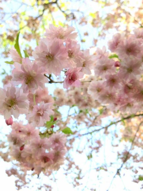 GW明けの軽井沢*桜と新緑の競演♡_f0236260_02554602.jpg