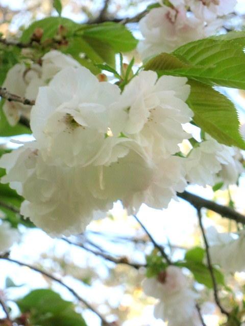 GW明けの軽井沢*桜と新緑の競演♡_f0236260_02583143.jpg