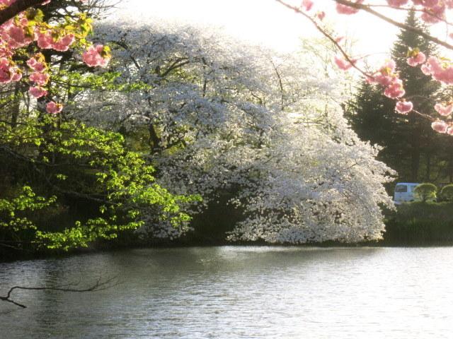 GW明けの軽井沢*桜と新緑の競演♡_f0236260_03063124.jpg