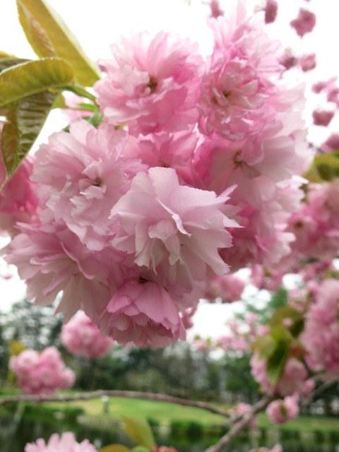 GW明けの軽井沢*桜と新緑の競演♡_f0236260_14104852.jpg